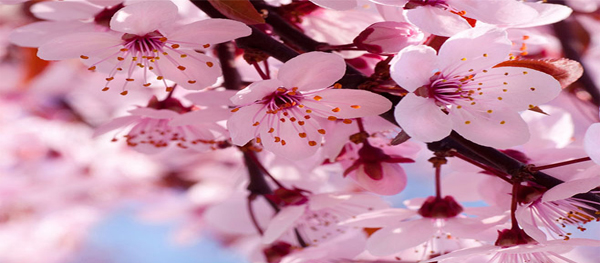 Where to See Spring Blossoms in Beijing