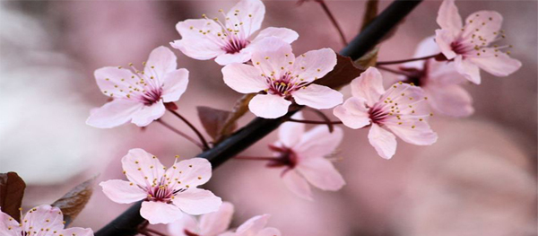 Best places to see spring flowers in Beijing